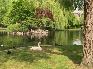 Swan nestling in Boston Common - a beautiful site!